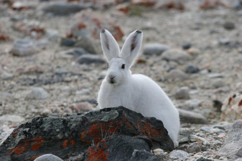1001 Arctic hare at Eskimobugt-Brendan Downer