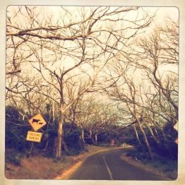 Koala devastation, Cape Otway