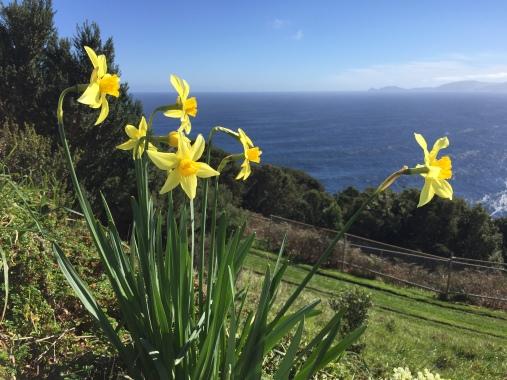 IMG_5602 daffodils Q3