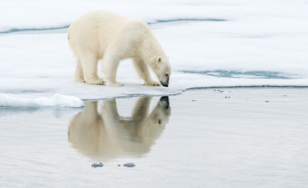 Polar Bear Reflection2