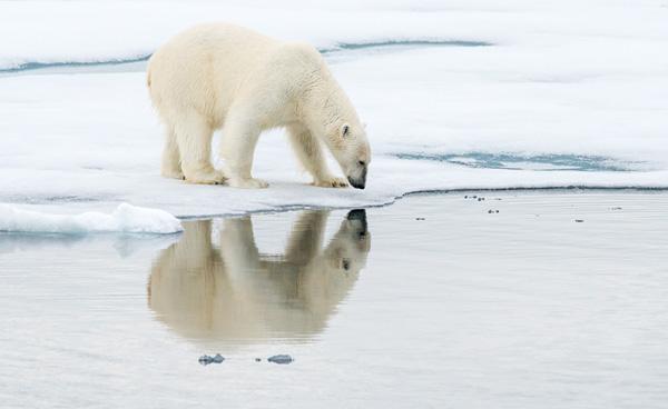Polar Bear Reflection2